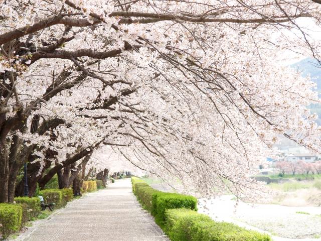 写真AC 満開の桜