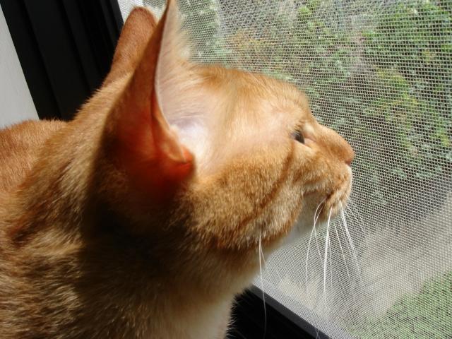 写真AC 窓の外を眺める猫