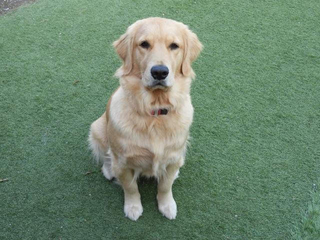 写真AC 犬 ゴールデンレトリバー 芝生