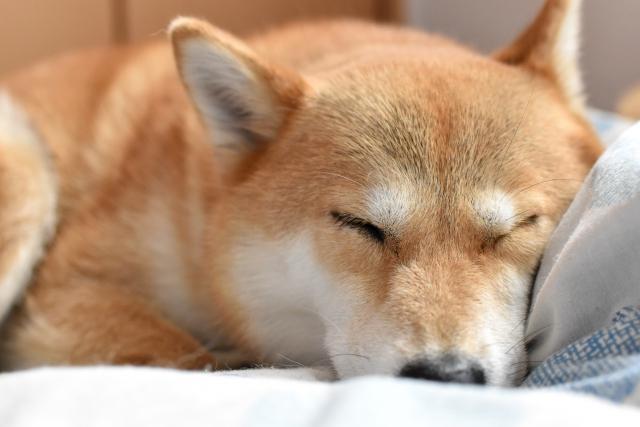 写真AC 柴犬。昼寝