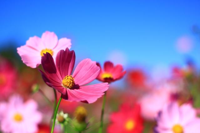写真AC 秋のコスモス畑と青空