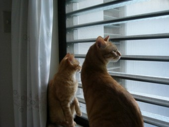写真AC 窓の外を眺める兄弟猫 ルーバー窓 サッシ 網戸