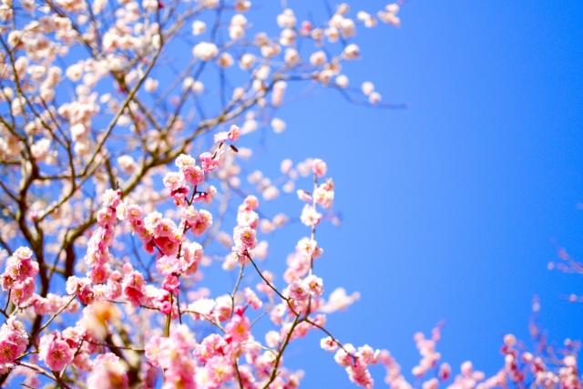 写真AC 梅の花