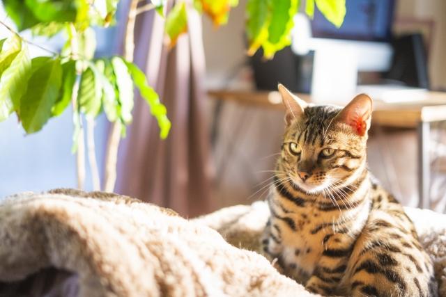 写真AC 冬の日差しを浴びてポカポカのベンガル猫