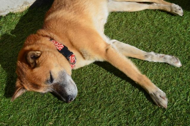 写真AC お昼寝 人工芝 柴犬