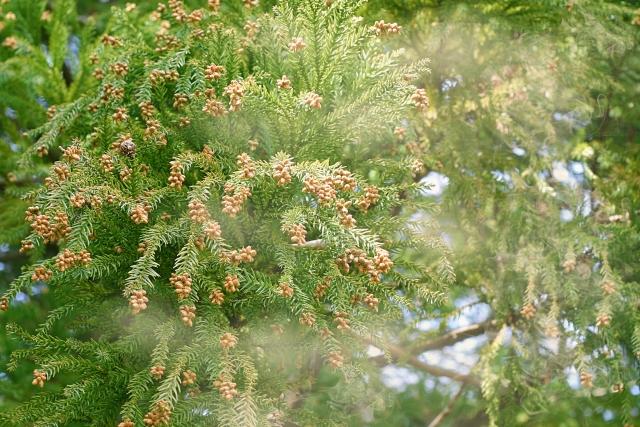 写真AC スギ花粉