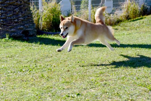 写真AC 柴犬 ドッグラン 飛行犬 芝生