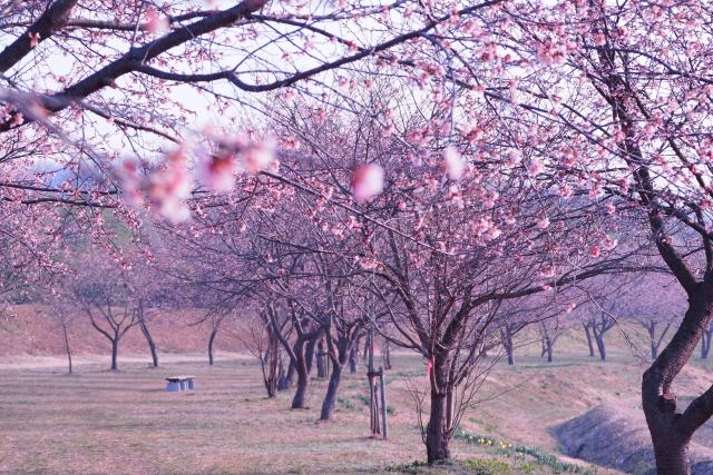 写真AC 咲き始めの桜並木